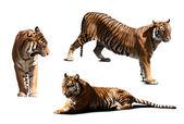 Tigers. — Stock Photo
