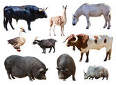 Farm animals. — Stock Photo