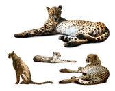Set of Cheetah — Stock Photo