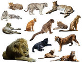 Set of  lion and other big wildcats. — Stock Photo