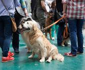 XIX national dog exhibition — Stock Photo
