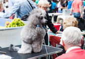 Poodle at XIX national dog exhibition of Catalonia — Stock Photo