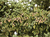 A lot of green strobile on a fur-tree branch — Stock Photo