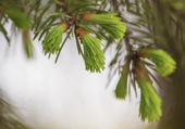 Fir tree banch — Stock Photo