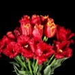 Stock Video: Blooming tulips on the black background, timelapse