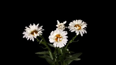 Blooming white daisies on the black background (Leucanthemum) timelapse — Stock Video