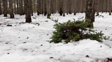 Junipers in the coniferous forest in winter (Juniperus communis) — Stockvideo