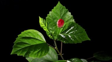 Blooming red Hibiscus on a black background (Hibiscus rosa-sinensis L.) (Time Lapse) — Stock Video #13711816