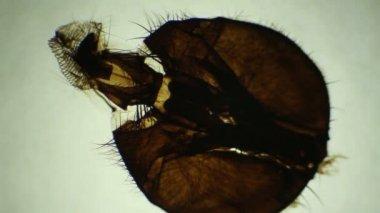 Mosquite moeth teile unter dem mikroskop, hintergrund. (anthophila) — Stockvideo