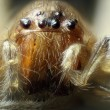 Spider under the microscope (Araneae, Arane) — Stock Photo