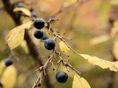 Branch of sloe, autumn background (Prunus spinosa) — Foto de Stock