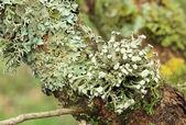 Texture of moss, lichen — Stock Photo