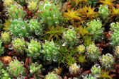 Texture of moss, lichen (Sphagnum fallax) — Stock Photo