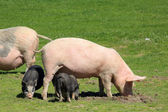 Pig with piglets grazing in the meadow — Stock Photo