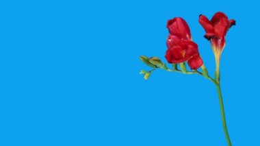 Hızlandırılmış açılış kırmızı frezya çiçek tomurcukları alfa mat, (frezya çift kırmızı) — Stok video