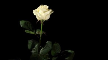 Blooming white roses on the black background, timelapse — Stock Video