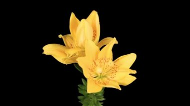 Flowering yellow lily on the black background (L. prominet) — Stock Video