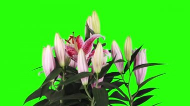 Blooming pink lily flower buds green screen, FULL HD. (Lilium Star Gazer) — Stock Video