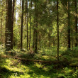 Sun light in the coniferous forest. Valday, Novgorod region, Rus — Stock Photo