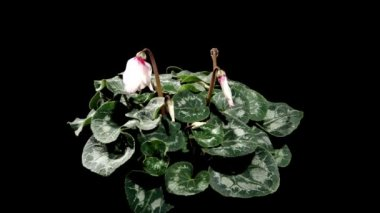 Flowering white cyclamen on the black background (Cyclamen Midori White with Eye) — Stock Video