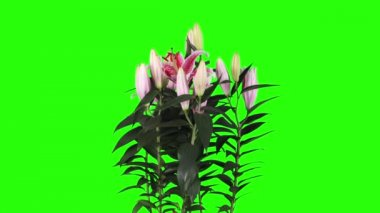Blooming pantalla verde los brotes de flor de lirio rosa, full hd (lilium star gazer) — Vídeo de stock