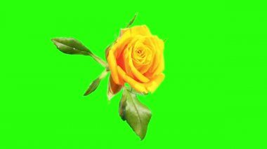 Blooming yellow roses flower buds green screen, FULL HD. (Rose Kerio), timelapse — Stock Video