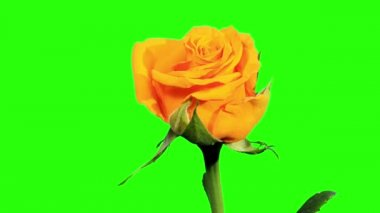 Blooming yellow roses flower buds green screen, FULL HD. (Rose Kerio), timelapse — Vídeo de Stock