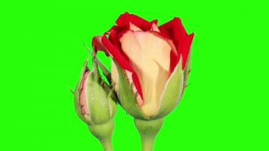 Blooming red roses flower buds green screen, FULL HD. (Rose New Fashion), timelapse — Wideo stockowe