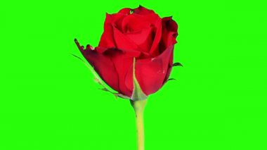 Blooming red roses flower buds green screen, FULL HD. (Rose Red Magic), timelapse — Vidéo