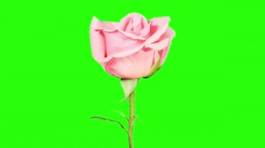 Blooming pink roses flower buds green screen, FULL HD. (Rose Pink Asiana), timelapse — Vidéo