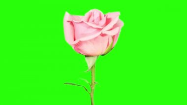 Blooming pink roses flower buds green screen, FULL HD. (Rose Pink Asiana), timelapse — Wideo stockowe