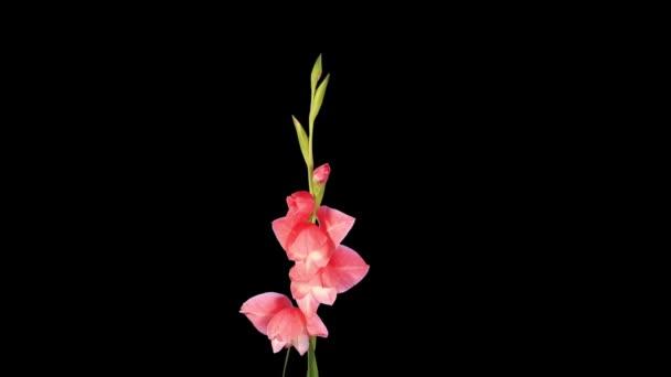 Blooming mate alfa de gladiolos rosados capullos de flores, hd lleno. — Vídeo de stock