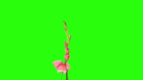 Blooming pink gladiolus flower buds green screen, FULL HD. (Gladiolus Pop Art), timelapse — Vidéo