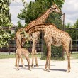Stock Photo: Giraffes and baby