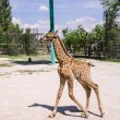 Baby giraffe — Stock Photo