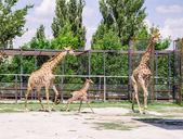 Giraffes and baby — Stock Photo