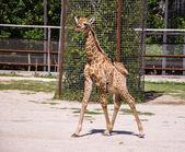 Bebek zürafa — Stok fotoğraf