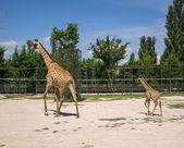 Zürafa ve bebek — Stok fotoğraf