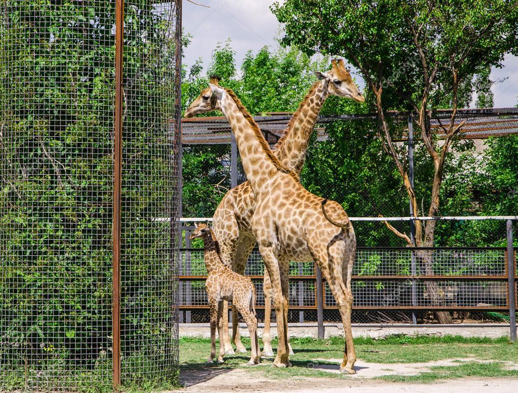 长颈鹿和宝宝是在动物园里的一支钢笔 — 照片作者 raikhel