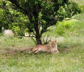 Lion — Stok fotoğraf
