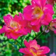 Blooming roses — Stock Photo