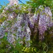 Brush wisteria — Stock Photo #27826767