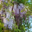 Brush wisteria — Stock Photo #27829139
