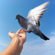 Pigeon on hand — Stock Photo #1125806