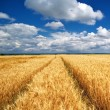 Meadow of wheat — Stock Photo #12077384