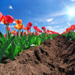Meadow of tulips - Stock Photo
