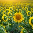 Individual sunflower - Stock Photo