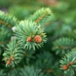 Young spruce. - Stock Photo