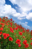 Poppies hill and sunny sky. — Foto de Stock