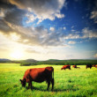 Cow on meadow — Stock Photo #18742275